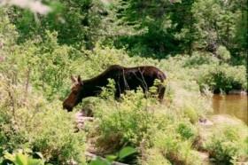 Photo: Moose at Sandy Stream Pond (1996)