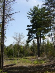 Forest Clearing in Otis (2004)