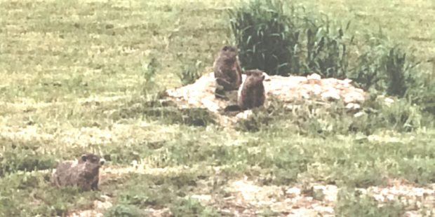 Woodchucks in Sherman (2017)