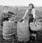 Potato Pickers (c. 1950)