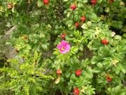 Brilliant Roses along the Shore (2006)