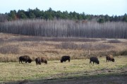 Bison at Walter Taggart Farm (2010)
